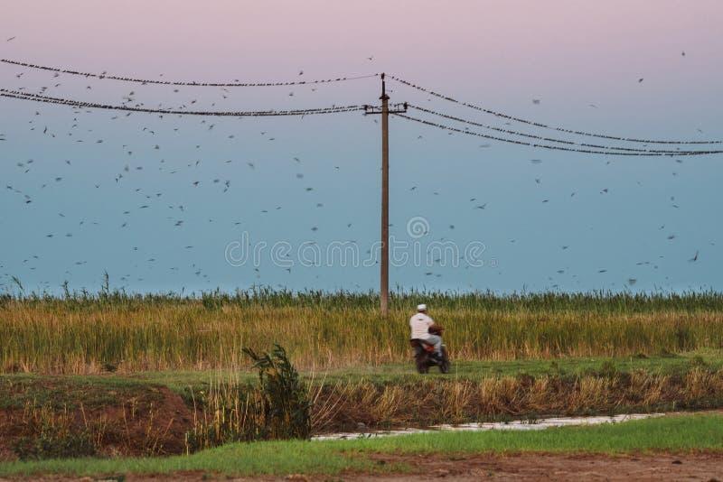 农夫骑一辆摩托车沿着输电线 鸟群从脚踏车的声音驱散 图库摄影