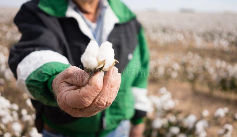 农夫` s被风化的手拿着检查收获的棉花蒴 免版税库存图片