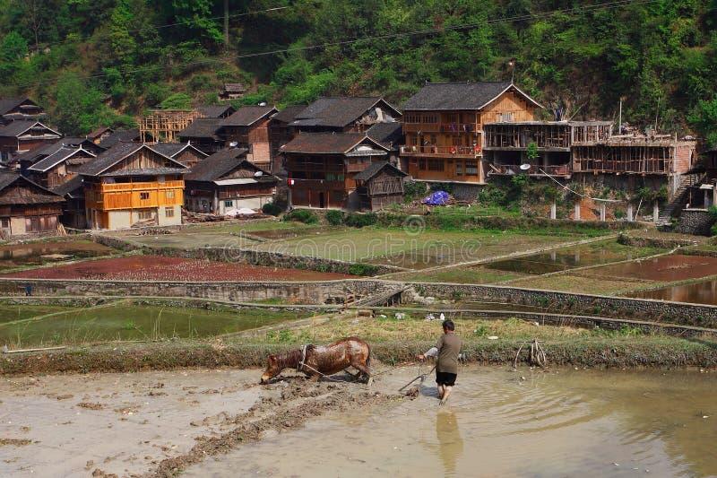 农村中国,拉扯在米领域的马一个犁。 库存图片