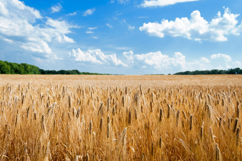 农村的横向 域成熟麦子 图库摄影