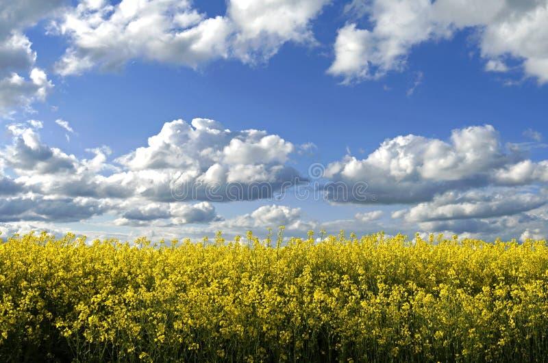 农村风景用油菜籽和积云  免版税库存图片