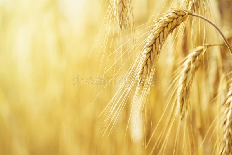 农村风景-调遣在夏天太阳的光芒的普通小麦普通小麦 库存照片