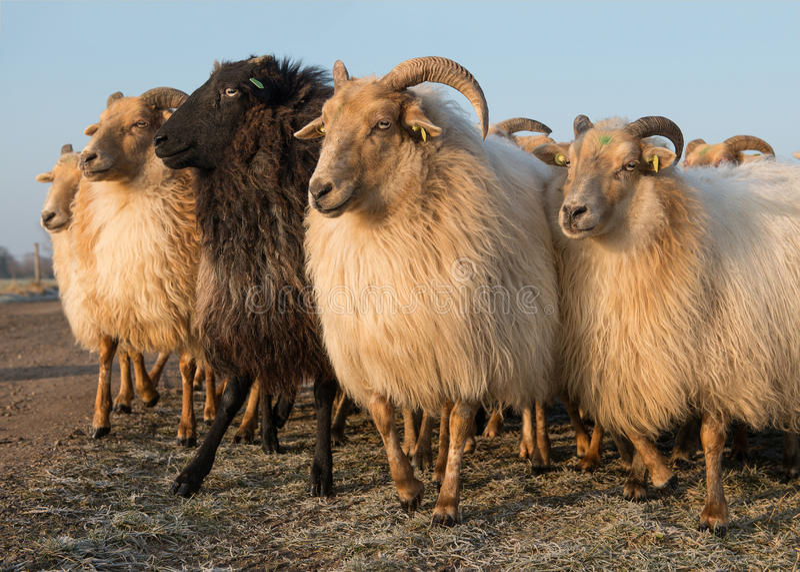 农村绵羊各种各样的白色和一个败类牧群  库存照片