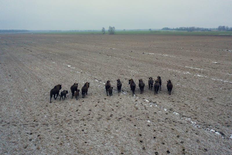 农田上的一群俾斯麦 免版税库存图片