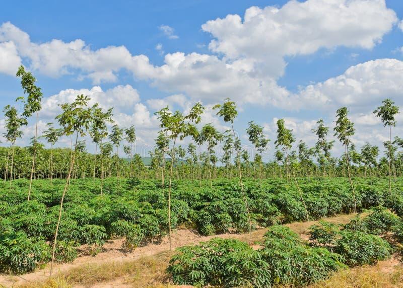 农田在泰国 库存图片