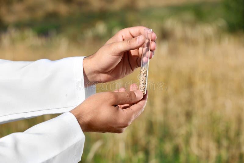 农艺师藏品试管在领域,特写镜头的麦子五谷 谷物种田 免版税库存照片