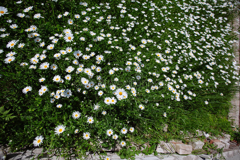 Download 冠上在绿草和camomiles下的美好的领域作为backgro 库存图片 - 图片 包括有 增长, 叶子: 72367833