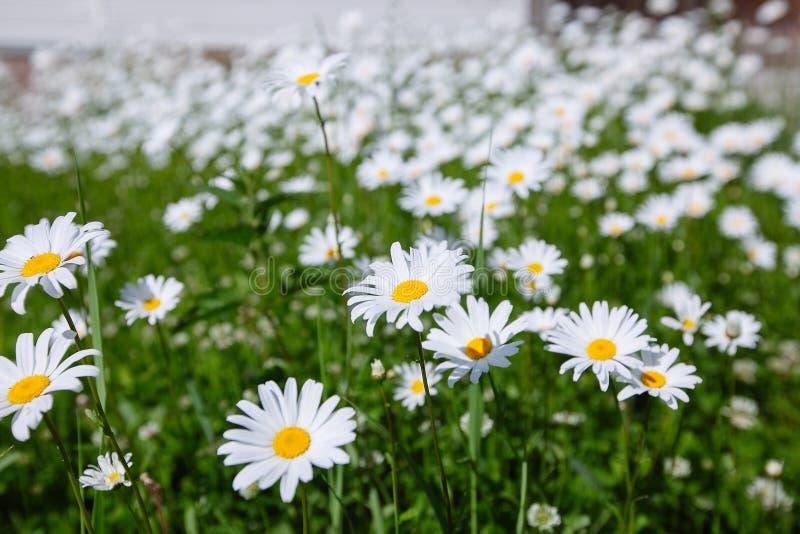 Download 冠上在绿草和camomiles下的美好的领域作为backgro 库存图片 - 图片 包括有 户外, 健康: 72367967