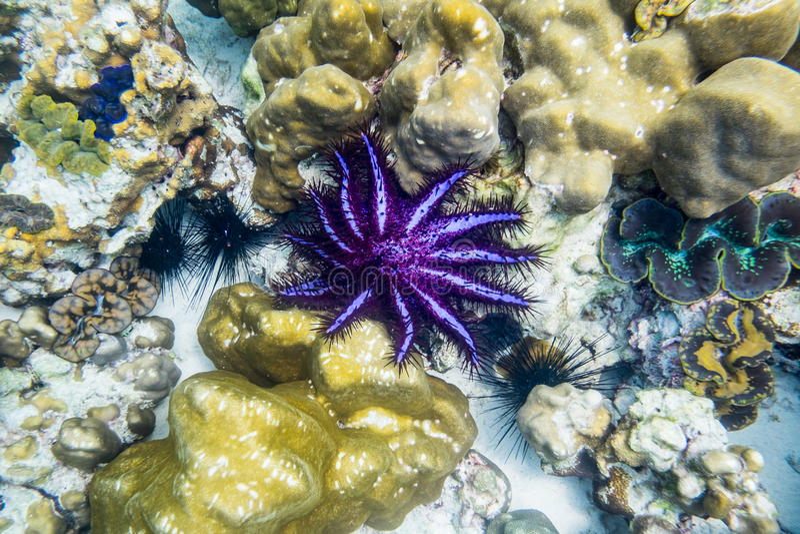 冠刺海星, Acanthaster planci,紫色黑色 免版税库存图片