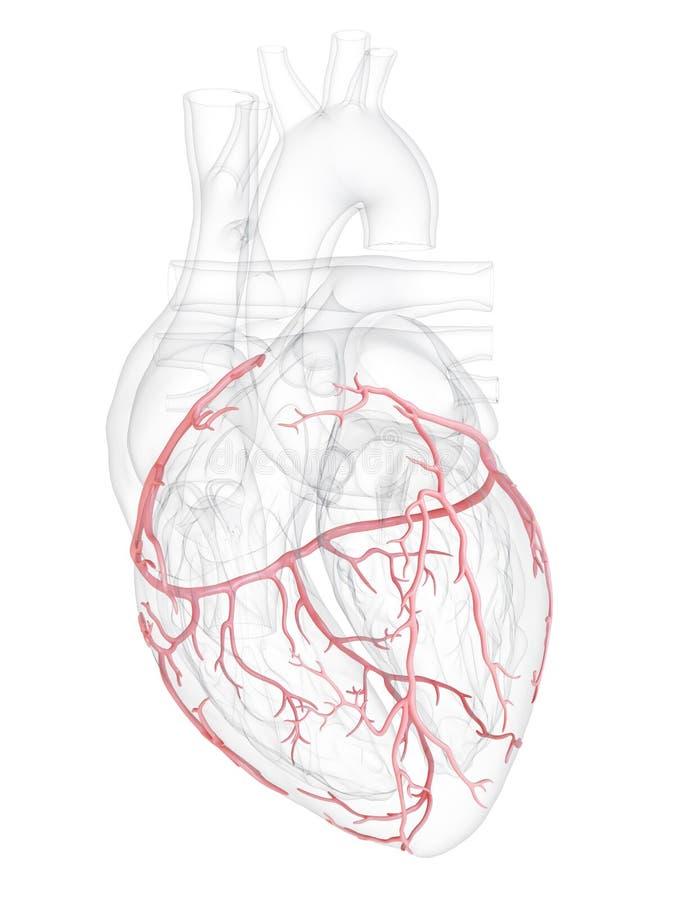 冠状动脉 库存例证