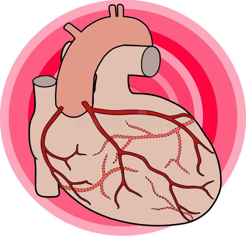 冠状的动脉 向量例证