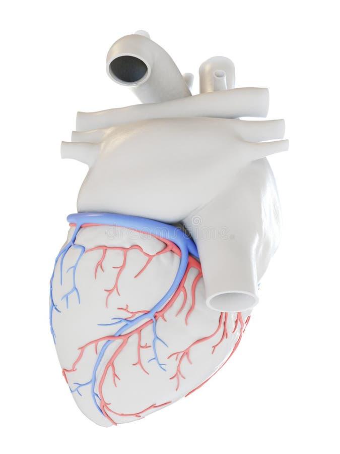 冠状血管 向量例证