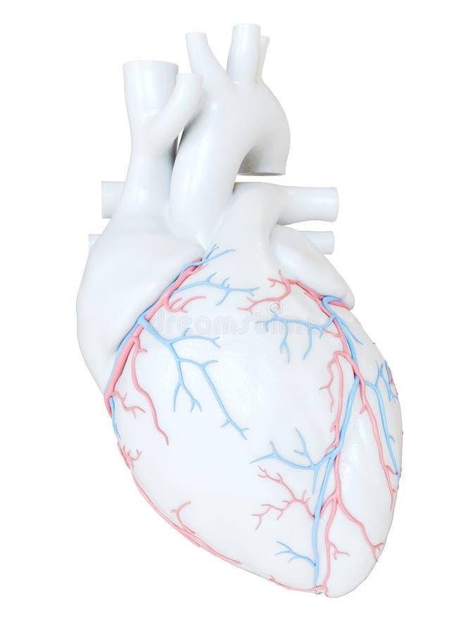 冠状血管 库存例证