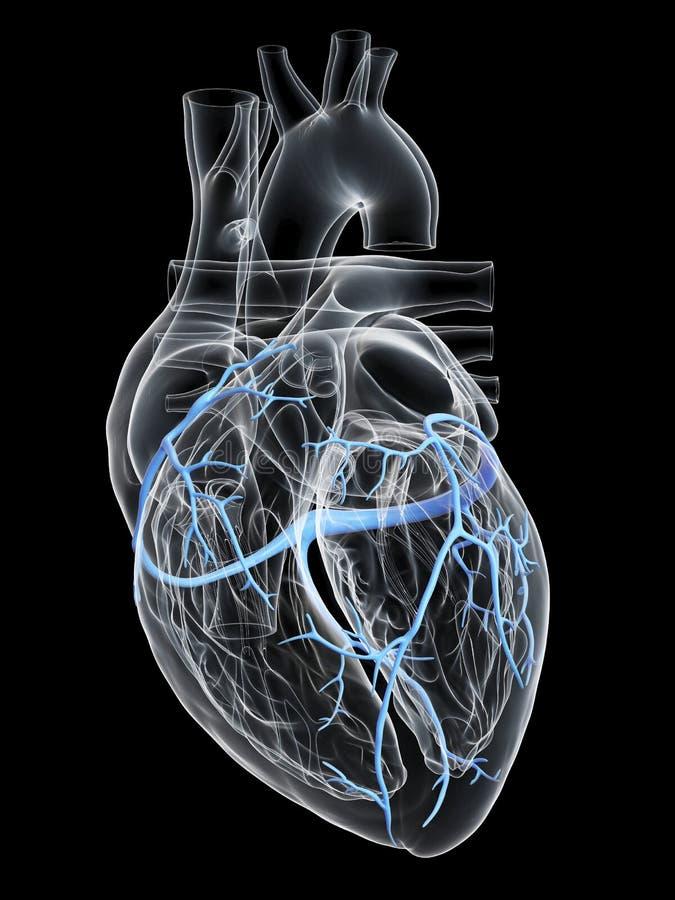 冠状静脉 库存例证
