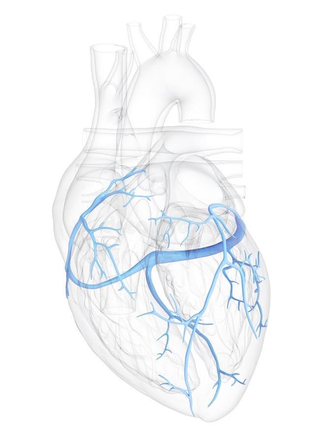 冠状静脉 向量例证
