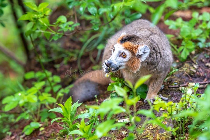 冠狐猴在地面上吃 免版税库存图片
