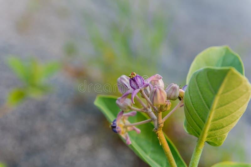 冠花,巨型印地安乳草,硕大Swallowwort 库存图片
