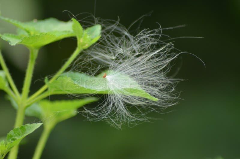 冠花,Calotropis Gigantea种子  库存图片