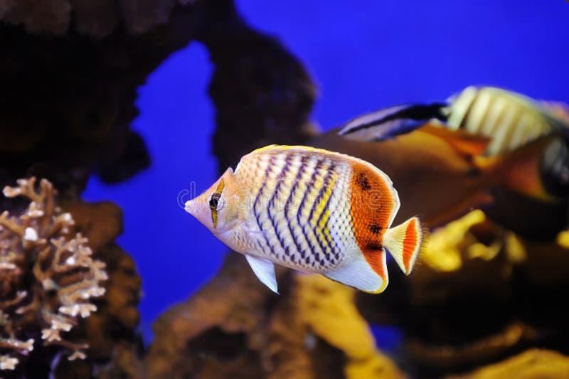冠蝴蝶鱼在红海 库存图片