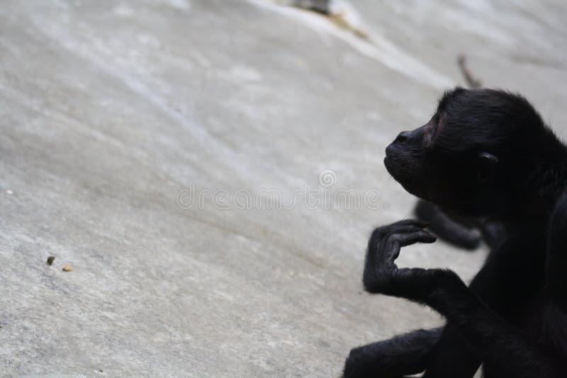 冥想猴子 库存照片