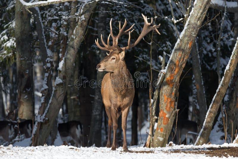 冬天与伟大的雷德迪尔& x28的野生生物风景; 鹿elaphus& x29; 库存图片