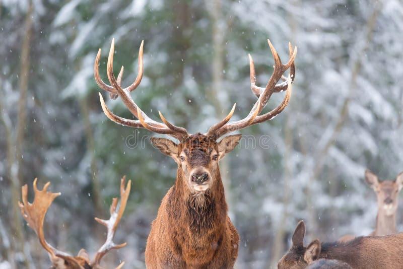 冬天与高尚的鹿鹿Elaphus的野生生物风景 与大垫铁的鹿有在前景的雪的和看照相机 免版税库存照片