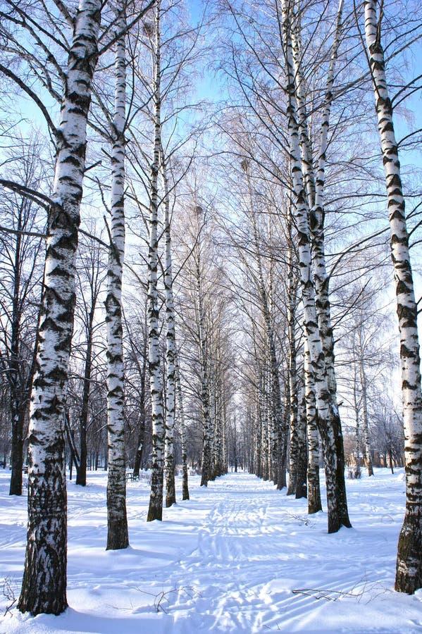 冬天公园,与树桦树的风景与被盖的雪分支 库存图片