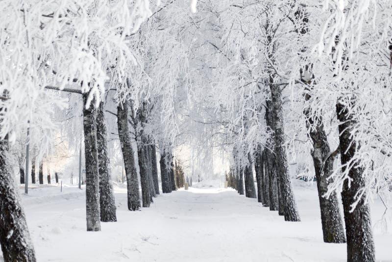 冬天公园,桦树胡同 库存照片