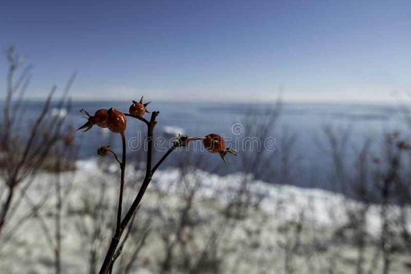 冬天冰冻了干燥在沿海蓝天早晨背景的成熟野玫瑰果 库存图片