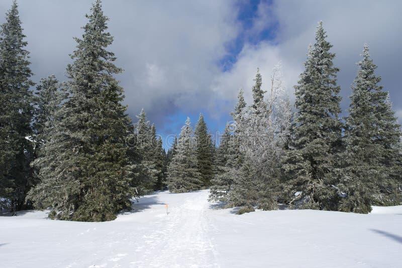冬天冷杉森林 免版税库存照片