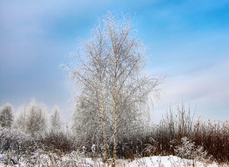 冬天冻结的桦树 库存图片
