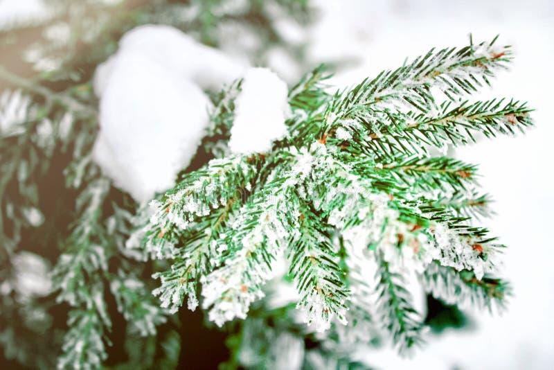 冬天和圣诞节背景 杉树分支特写镜头照片用弗罗斯特雪霜盖了 风景在公园 库存图片