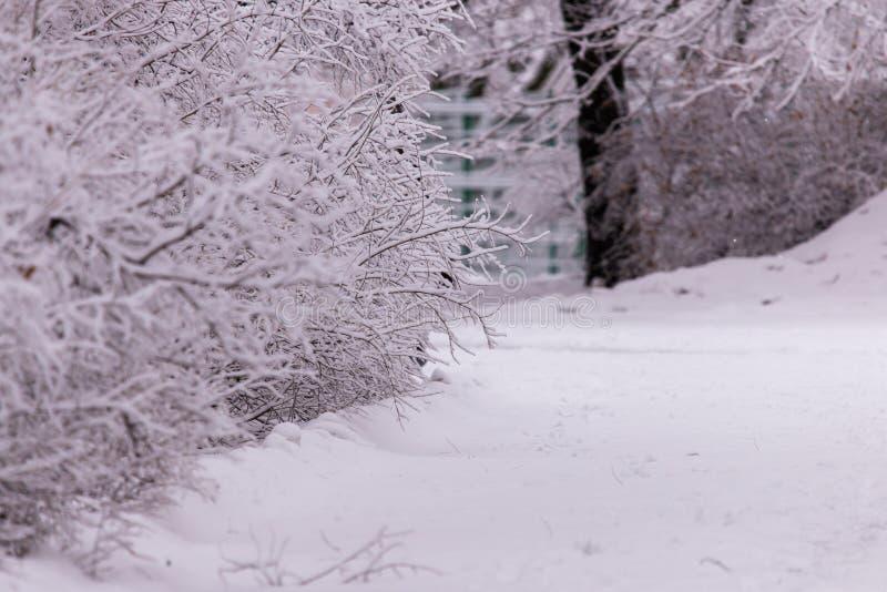 冬天场面背景,用霜盖的橡木森林 库存照片