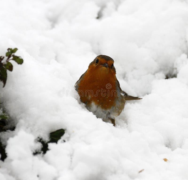 冬天奇迹Robin 免版税库存图片