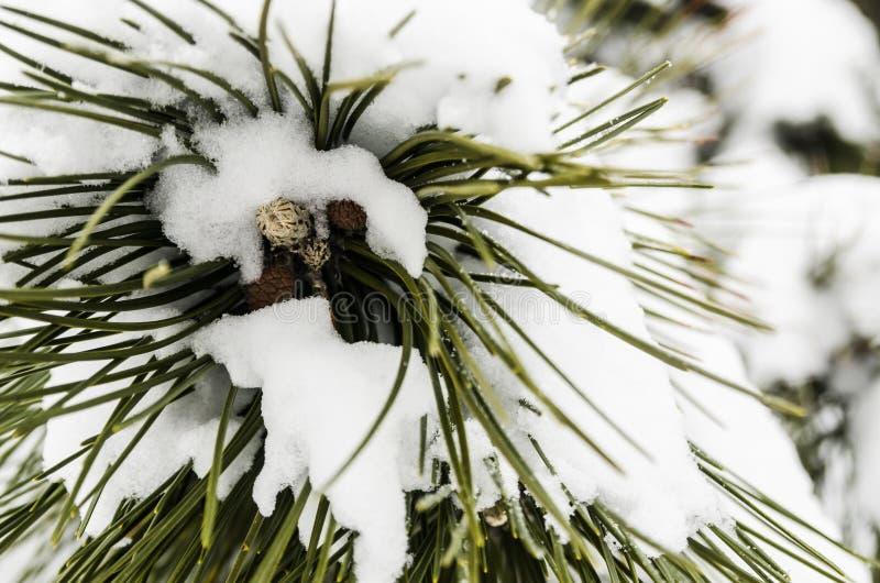 冬天季节概念 用雪盖的弗罗斯特树在冬天公园 云杉的针接近的看法与冷杉的杉木锥体的 库存图片