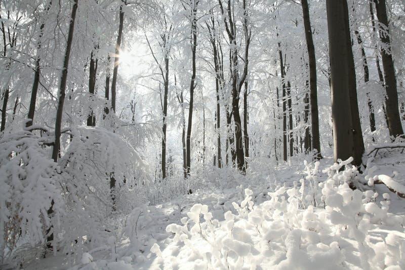 冬天山毛榉森林在阳光下 免版税库存照片