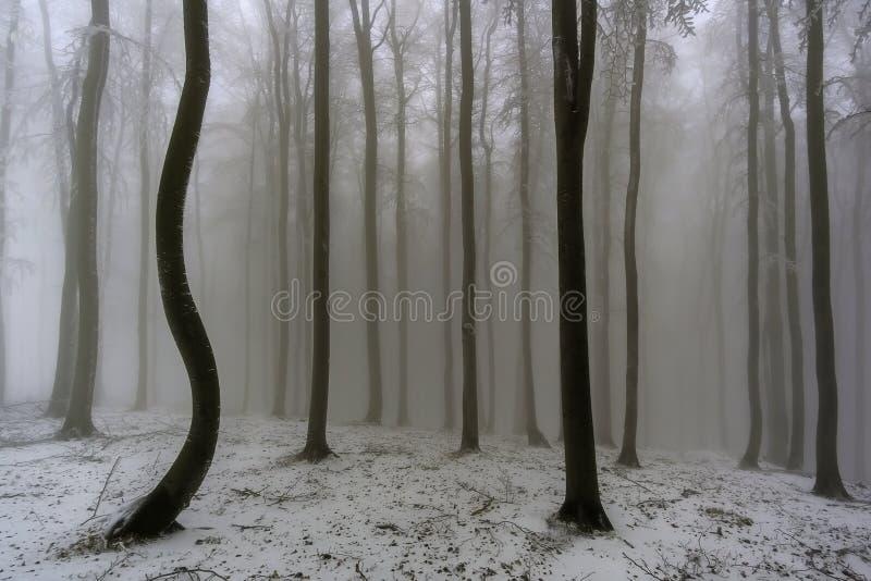 冬天山毛榉森林 库存图片