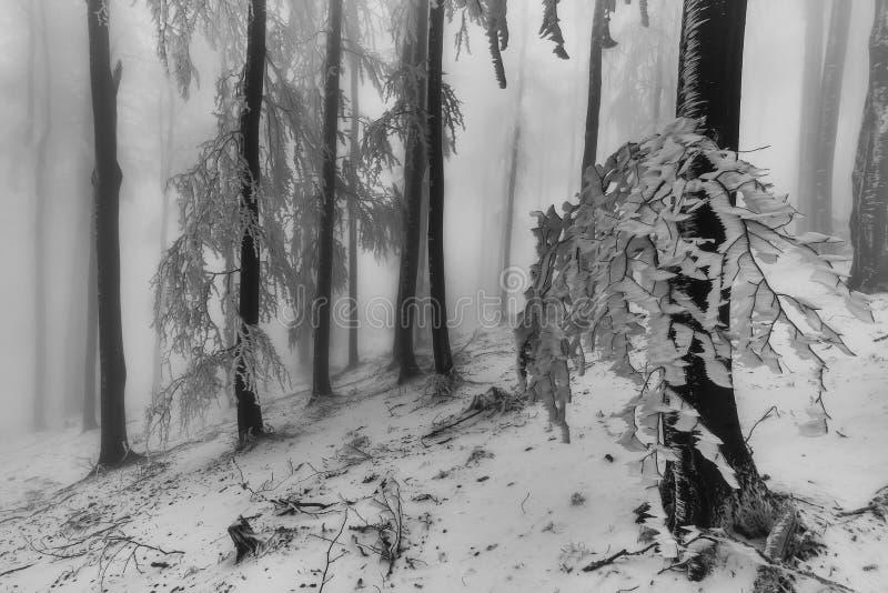 冬天山毛榉森林 免版税图库摄影