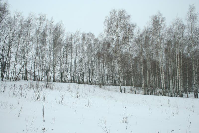 冬天年轻桦树树丛 库存图片