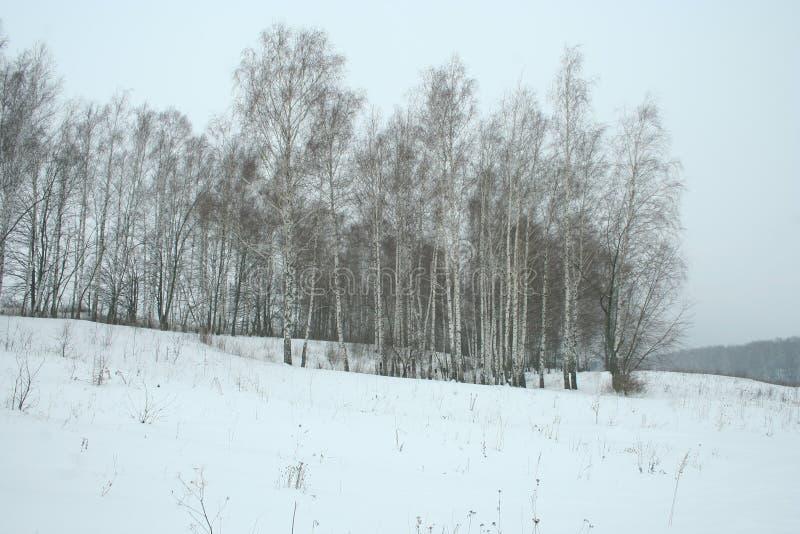 冬天年轻桦树树丛 免版税库存照片