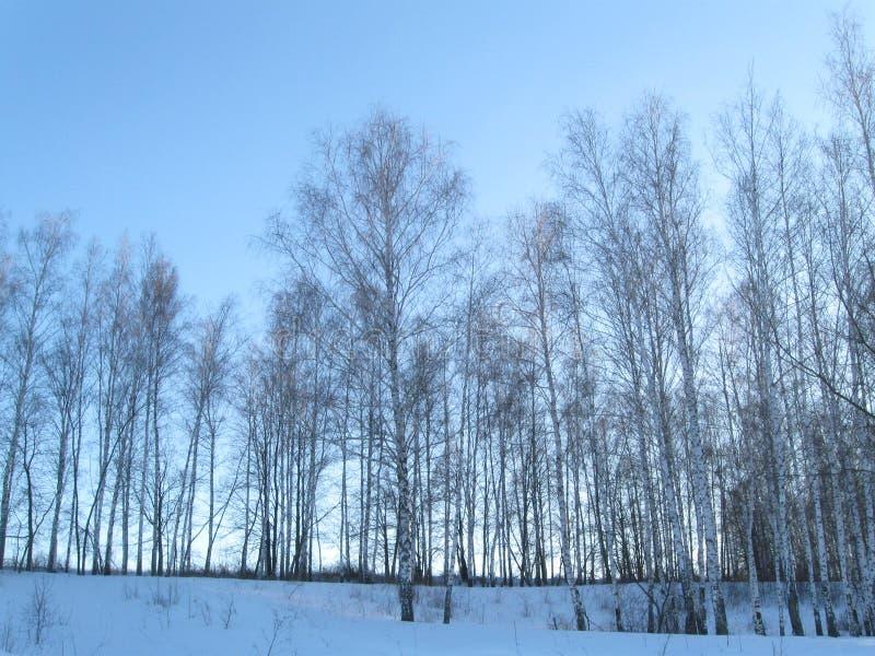 冬天年轻桦树森林 免版税图库摄影