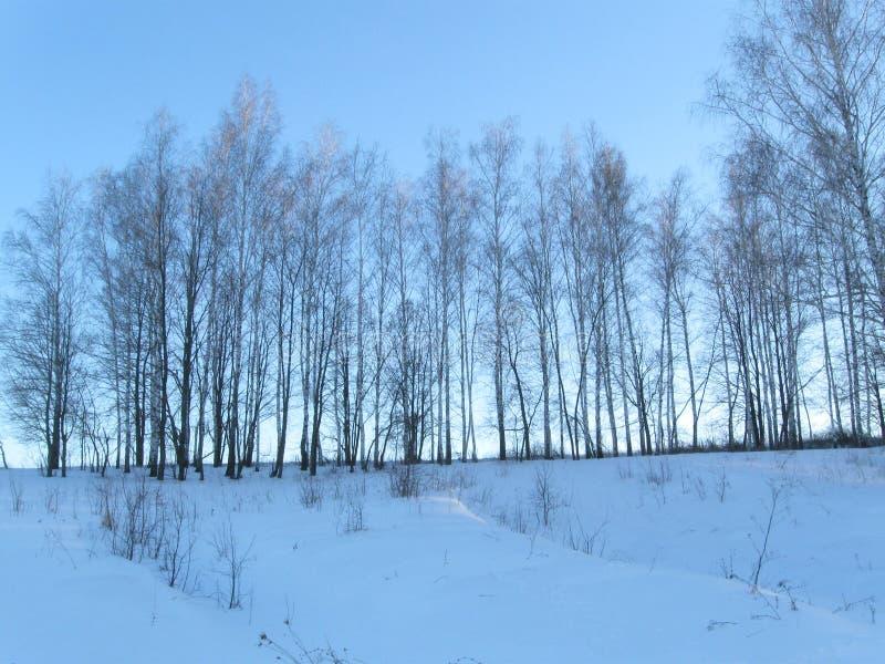 冬天年轻桦树森林 图库摄影