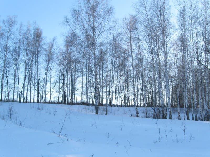 冬天年轻桦树森林 库存照片