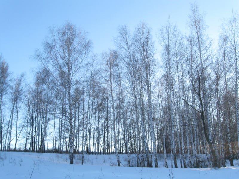 冬天年轻桦树森林 库存图片