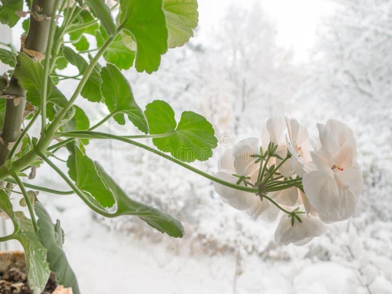 冬天开花的花天竺葵Marbacka 免版税库存照片