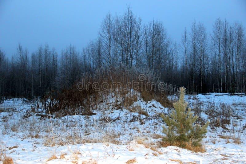 冬天晚上在俄罗斯的桦树树丛里 库存照片