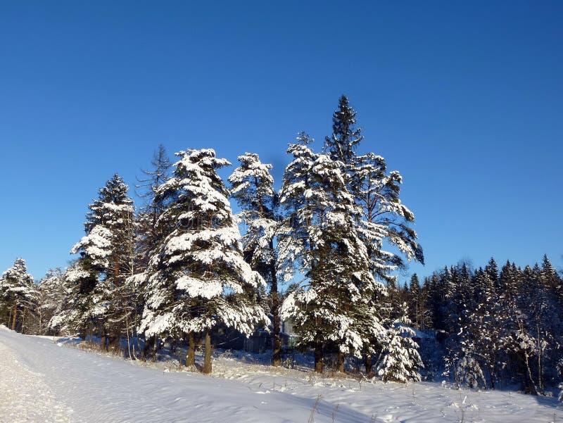 冬天有冷杉木和杉木的雪森林 免版税库存图片