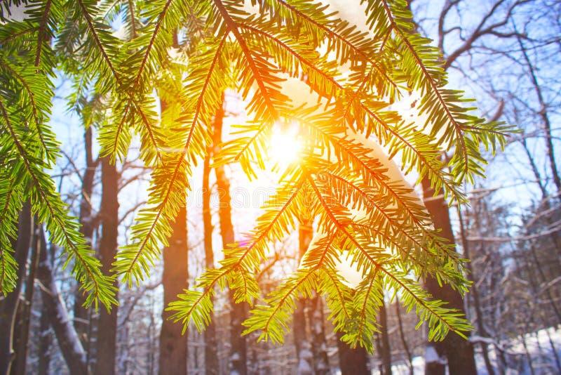 冬天杉木多雪森林的自然太阳的光 库存照片