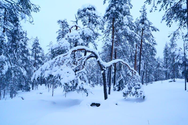冬天树在拉普兰 库存照片