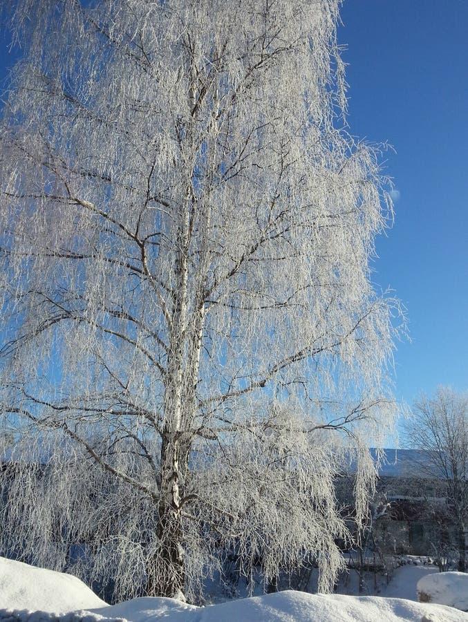 冬天树在瑞典 库存照片